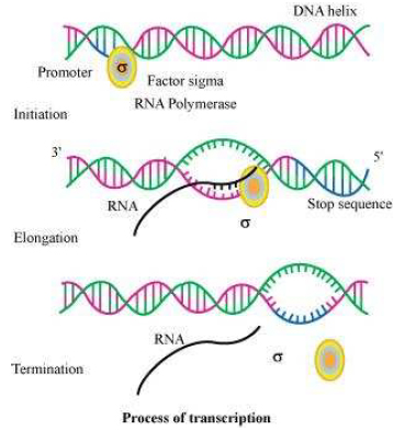 Dna structure worksheet answers chapter 17 answers