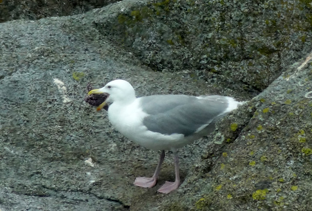 Bird eats starfish - kenai fjords