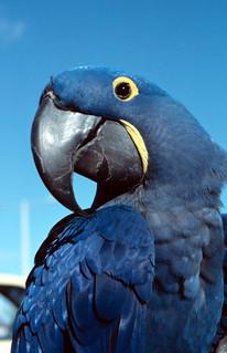 Hyacinth Macaw: Key West, Florida