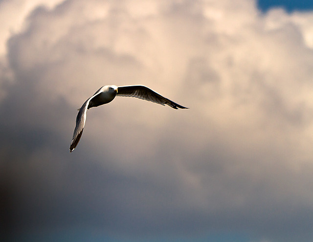 Gull Flight II