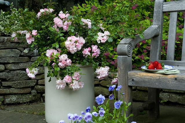 Flower Carpet Appleblossom Rose In Container Flickr