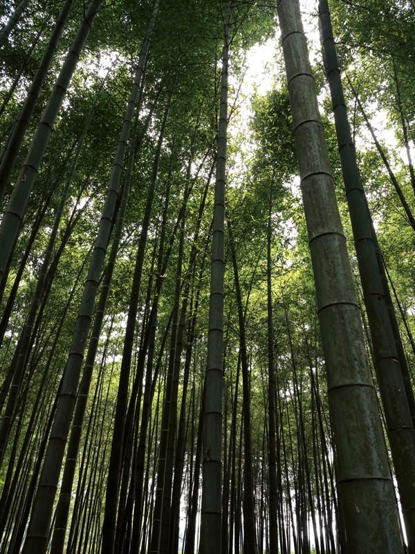 Forêt de bambous Yun Qi Zhu Jing