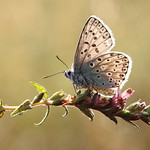 Chalk-hill Blue 16-08-12-0022