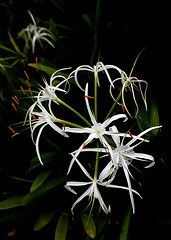 hymenocallis, flower, leaf, plant, macro photography, flora, green,