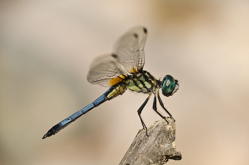 Dragonfly - Blue Dasher -1 - NIKON D5100 - 55.0-200.0 mm f-4.0-5.6