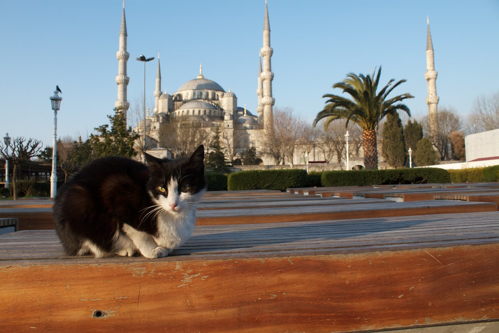 Blue Mosque with stray cat