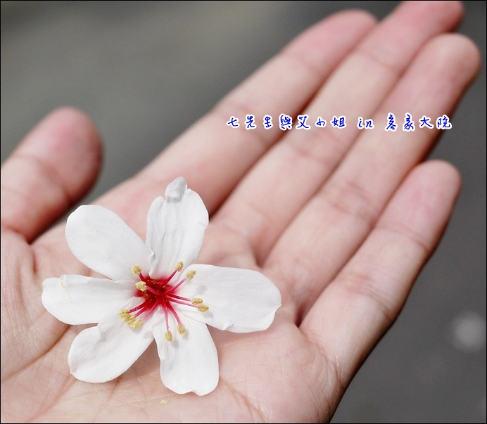 5 六瓣桐花