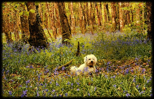 Benji in the  Bluebells  in Derreen Woods