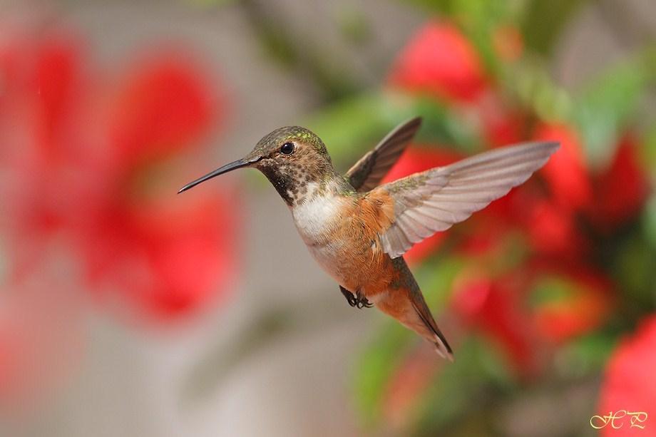 Allen's Hummingbird 042612