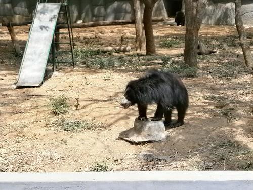 Bear-Vandalur-zoo-chennai