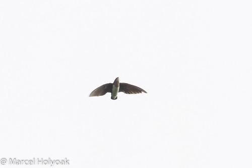 birds cameroon swifts littoral sanagariver cassinsspinetail neafrapuscassini
