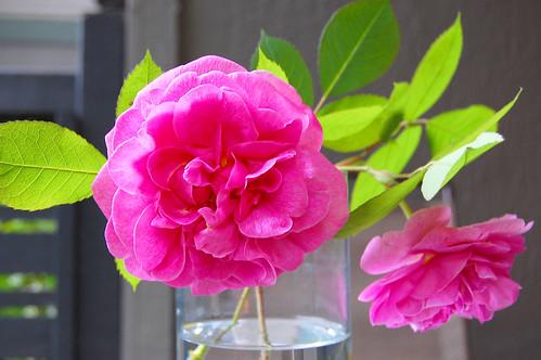 Gertrude Jekyll roses