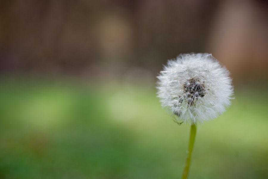 Dandelion_Mar152012_0004