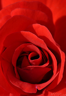 red elegance in nature: the meaning is placed in the heart