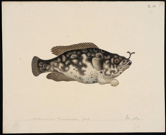 Antennarius marmoratus Gunth [Chironectes marmoratus Lesson (ex Cuvier), 1831]
