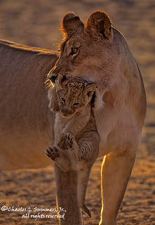 Lion Cub being carried by its mother 05890-11911 CGS2709