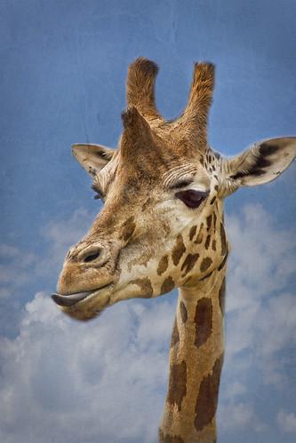 [フリー画像素材] 動物 1, 哺乳類, キリン ID:201205221000