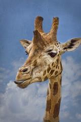 [Free Images] Animals 1, Mammals, Giraffes ID:201205221000