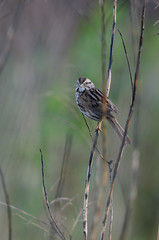 Song Sparrow_4524.jpg by Mully410 * Images