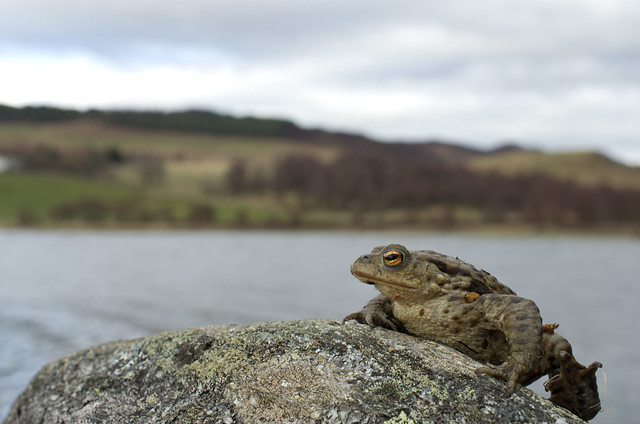 common toad posed loch shot
