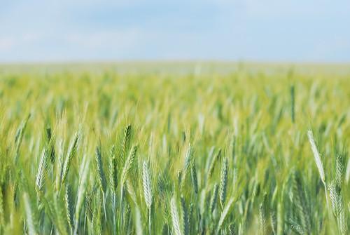 field wheat gödöllő mező búza
