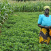 Malawian farmer in her groundnut plot under conservation agriculture