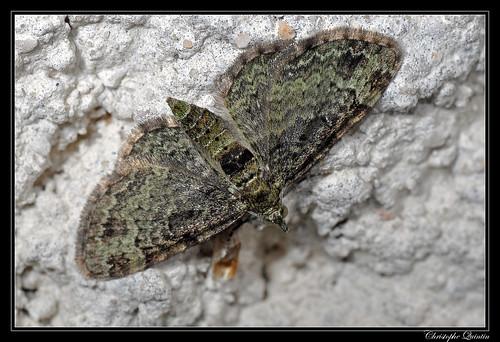 Eupithécie rectangulaire (Pasiphila rectangulata)