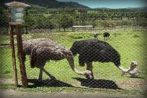 granja-porcon-cajamarca-peru3