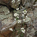 lyre-leaved rock cress - Photo (c) Fritz Flohr Reynolds, some rights reserved (CC BY-NC)