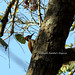 Woodpecker in Dandeli