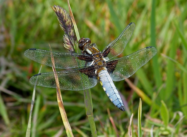 27460 - Broad-bodied Chaser, Marloes Mere