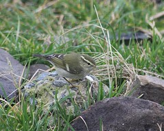 Yellow-browed Warbler (1)
