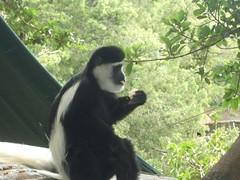 Colobus Monkey - Trout Tree