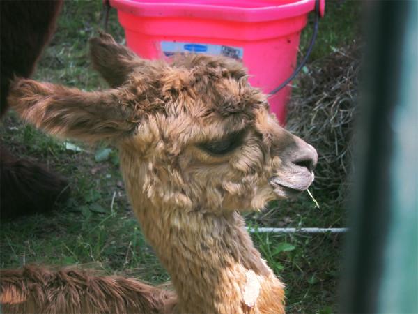 Baby alpaca omg!!!!