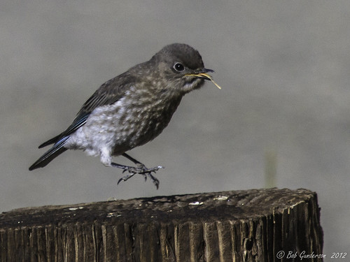 california birds northerncalifornia sierras bluebirds birdwatcher sierravalley mountainbluebird thrushes sialiacurrucoides rotaryparkloyalton