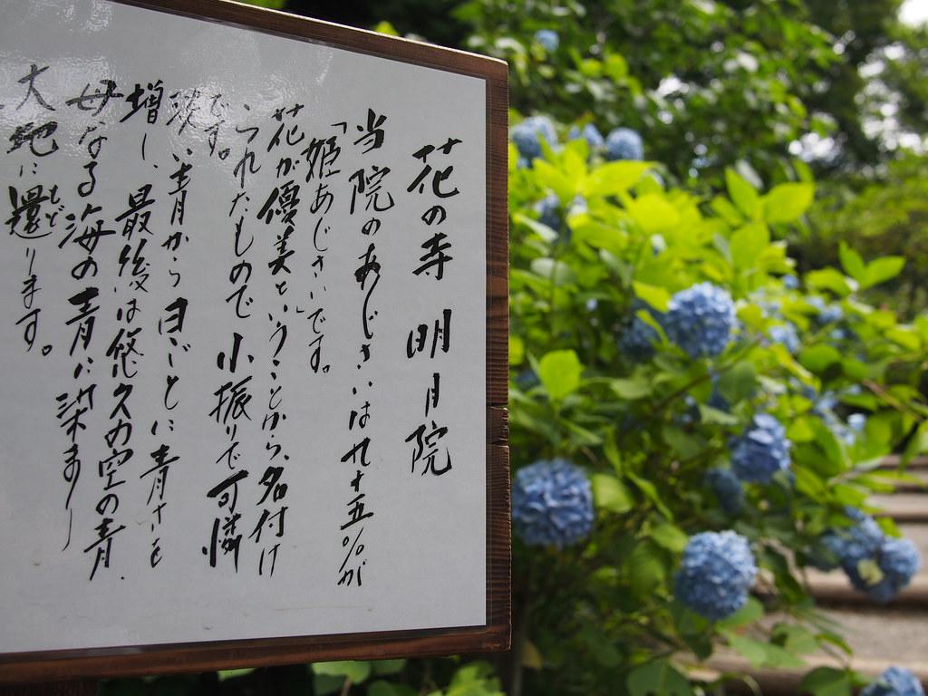 Hydrangea - Meigetsuin Temple