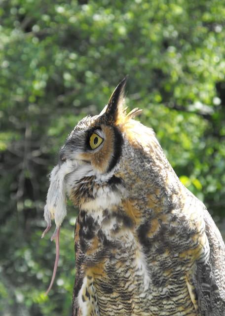 great horned owl eating