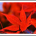 Happy Canada Day! - Maples N10286e