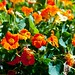 Nasturtiums grown for salads