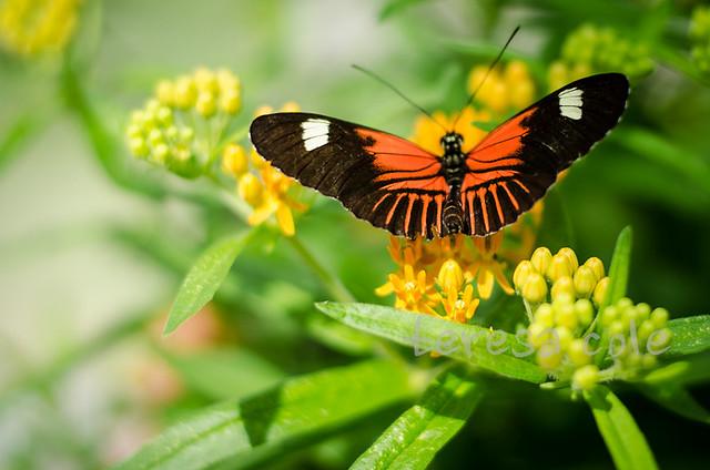 butterflies-1-4