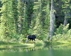 Banff National Park, moose