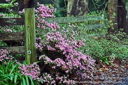 185-366 Pink Azalea