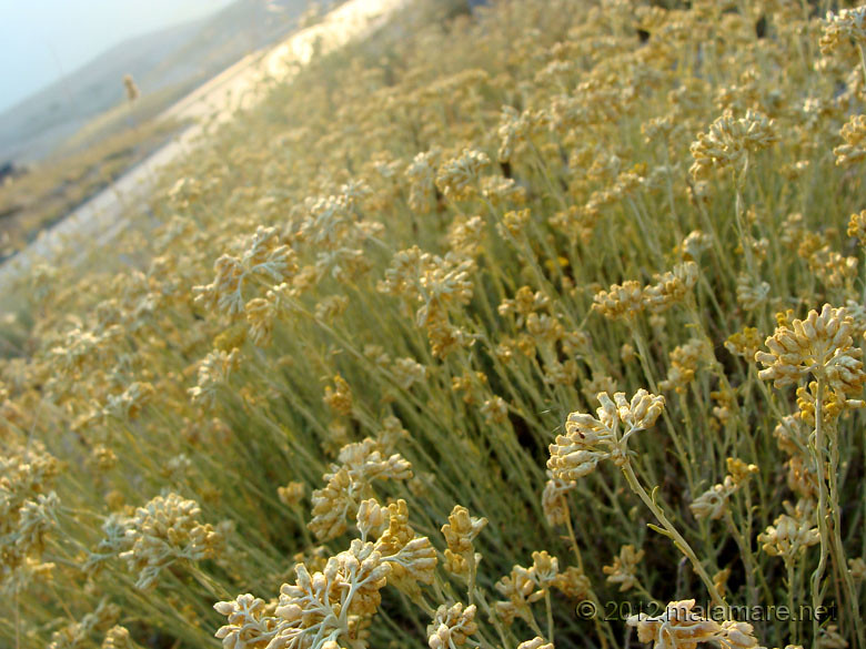 picking immortelle at down by the sea