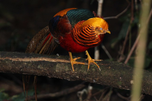 Golden pheasant male