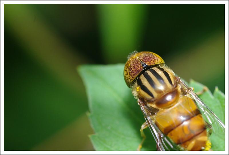 超可愛蜜蜂 (其實是班眼食蚜蠅)