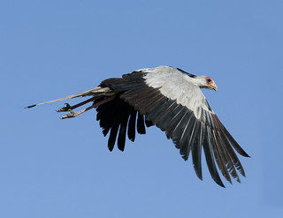 Secretary Bird (sagittarius serpentarius) - Messager Sagittaire