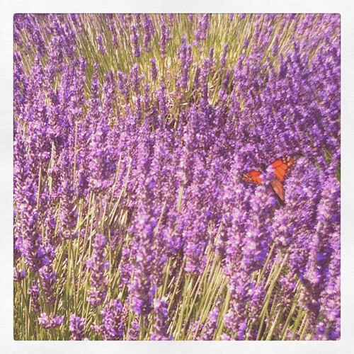 monarch butterfly in the lavander field 2