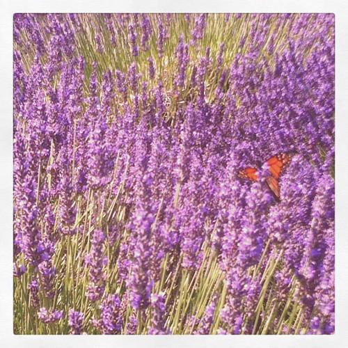 monarch butterfly in the lavander field 2