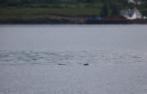 Otter bobbing 2