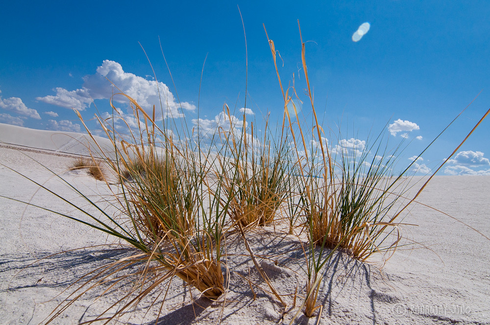 Grass on the white sand dunes
